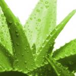 ev bitkisi aloevera